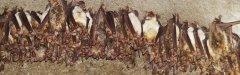 Recherche et surveillance des chauves-souris